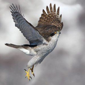 Wenskaart birdpix havik